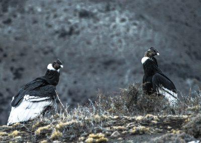 Cóndores. Foto: Alan Oyarzo